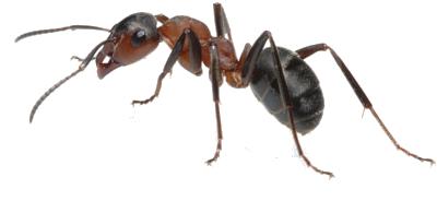 Garden Ants Uk Garden Ftempo